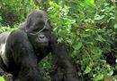 Ranger, gorilla e vulcani <br>sotto le telecamere