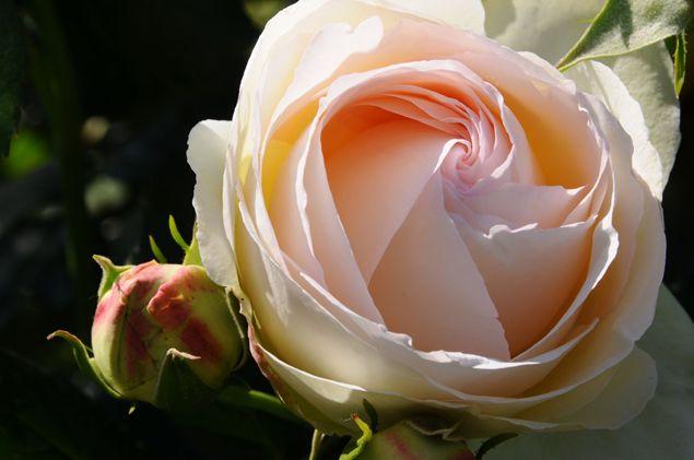 le rose più belle