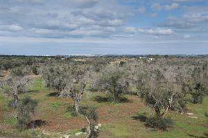"""Zona """"Li Sauli"""", Gallipoli. Alcuni alberi aggrediti dal disseccamento (foto Cosmo Laera)"""
