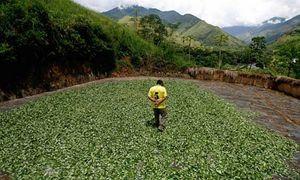 Un campo coltivato a coca.