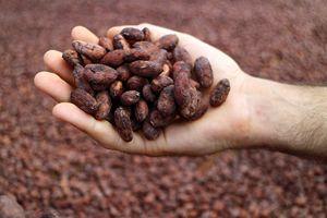 Fave di cacao dopo l'essicazione.