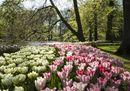 Keukenhof park 9 -  Sunny Tulips at the Lake.jpg