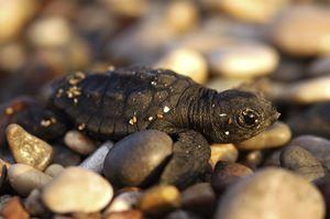 Una piccola tartaruga appena uscita dall'uovo viene accompagnata dai volontari verso il mare (foto Michel Gunther per WWF).